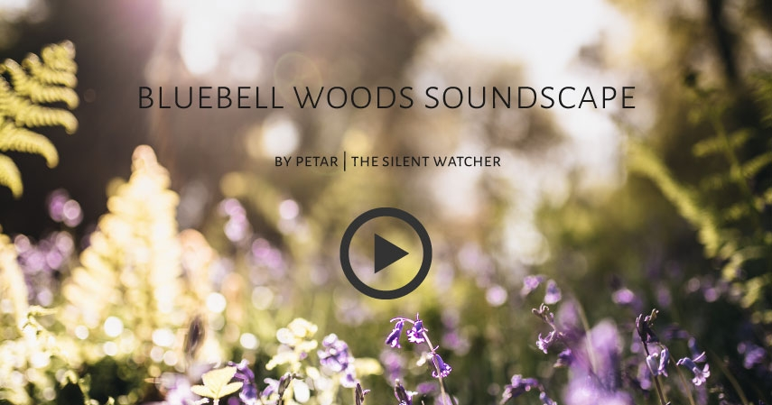 Bluebell woods Soundscape