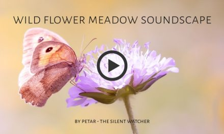 Wildflower Meadow Soundscape
